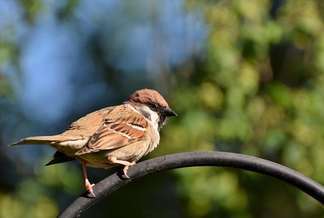 Sparrow, Sperling, Bird, Birdie, Plumage, Feather, Bill