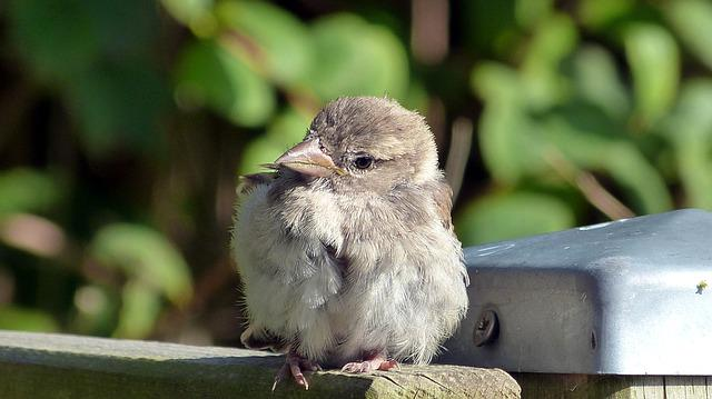 Sparrow, Sperling, Young Bird, Cheeky, Sitting, Close