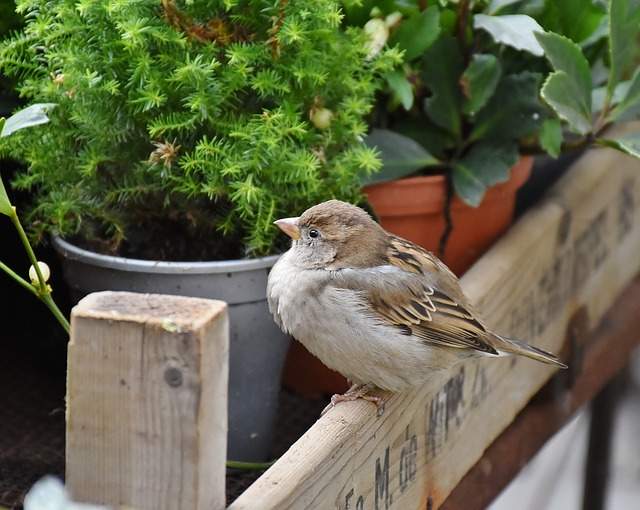 Sparrow, Sperling, House Sparrow, Feather, Nature