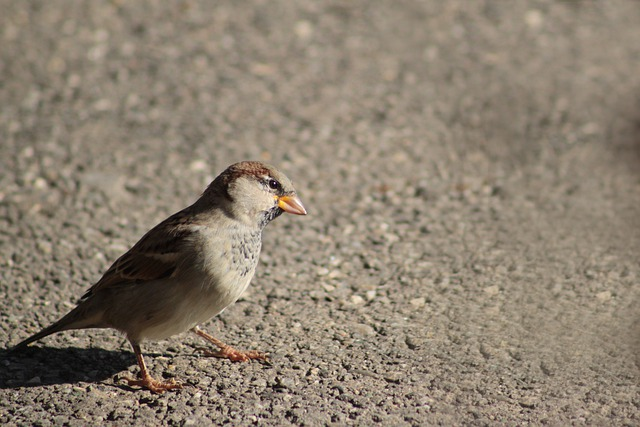 Sparrow, Bird, Animal, Nature, Songbird