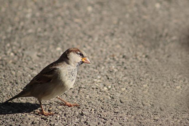 Sparrow, Bird, Animal, Nature, Songbird