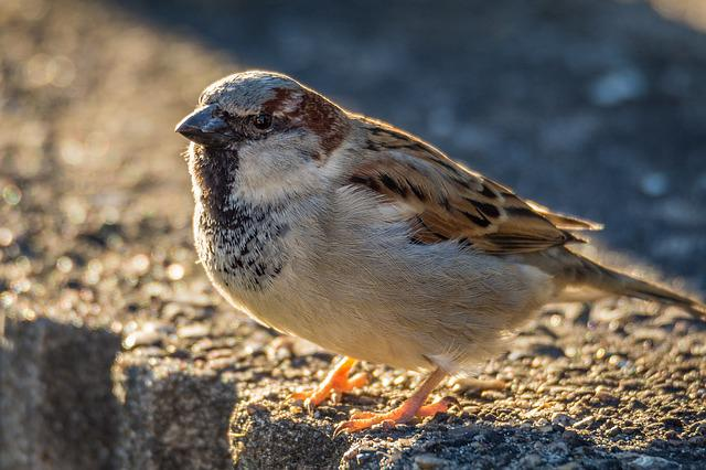 Sperling, Sparrow, Bird, Nature, Wildlife Photography