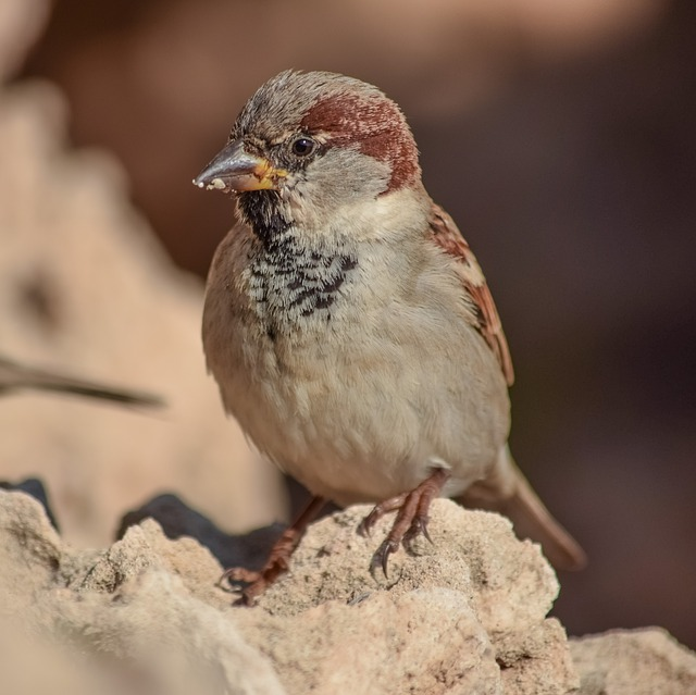 Sparrow, Bird, Nature, Wildlife, Animal, Outdoors, Rock