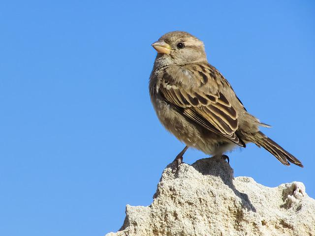 Sparrow, Sitting, Rock, Nature, Wildlife, Small, Cute