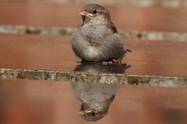 Sparrow, Sperling, House Sparrow, Bird, Close, Songbird