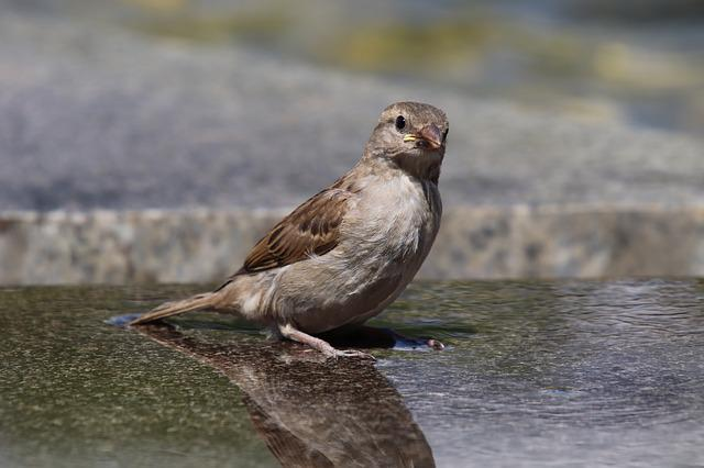 Sparrow, House Sparrow, Sperling, Bird, Animal, Water