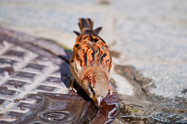 Bird, Sparrow, Drink, Water, Swim, Gulli, Nature
