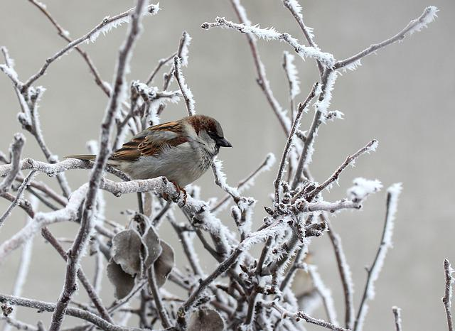 Sparrow, Frozen, Winter, Birds, Casey, Tree