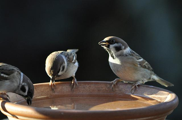 Sparrow, Sperling, Tree Sparrow, Bird, Animal World
