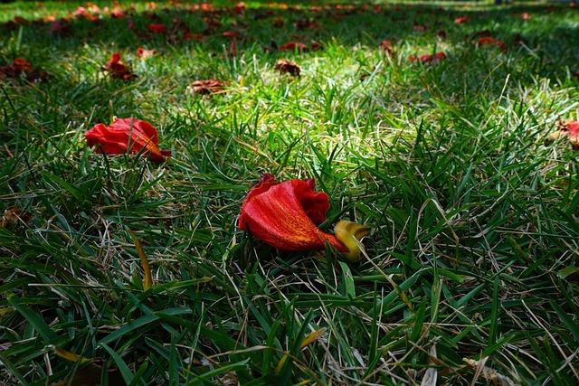 Flowers, Red, African Tulpenbaum, Spathodea Campanulata