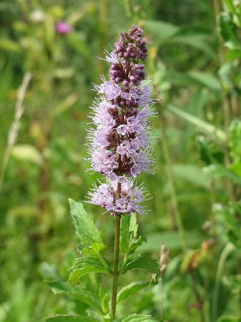 Mentha Spicata, Spearmint, Spear Mint, Wildflower