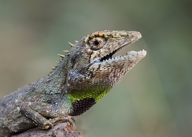 Wildlife, Species Of Salamanders, Vietnam