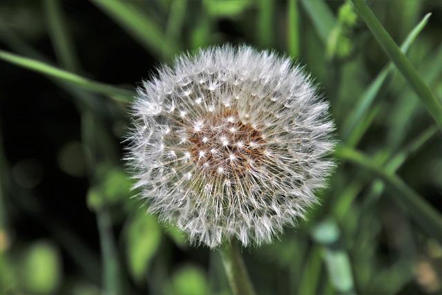 Dandelion, Sphere, Fluffy, Plant, Nature, Flower