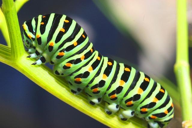 Caterpillar, Sphinx, Butterfly