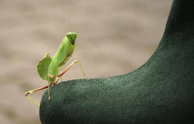 Praying Mantis, Sphodromantis Lineola, Sphodromantis