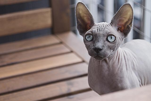 Animal, Cat, Domestic Animal, Feline, Sphynx Cat