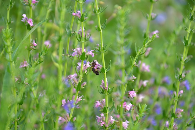 Hyssop, Plant, Spice, Bee, Collect Nectar, Yellow Pants