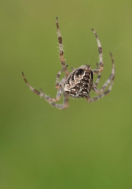 Araneus, Spider, Web, Angulate Orbweaver, Orb