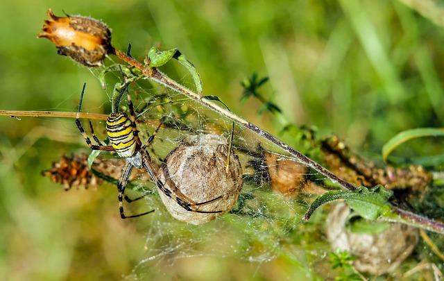 Wasp Spider, Spider, Animal, Argiope Bruennichi