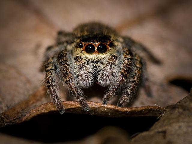 Spider, Jumping Spider, Small Spider, Close, Macro