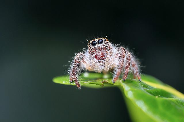 Jumping Spider, Spider, Insect, Macro, Animal, Eye