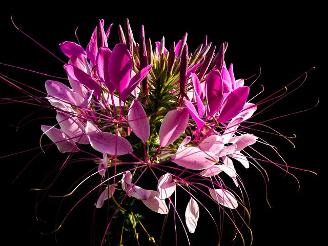 Spider Flower, Spider Plant, Blossom, Bloom, Pink