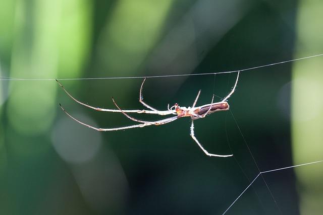 Strecker Spider, Tetragnatha Extensa, Spider