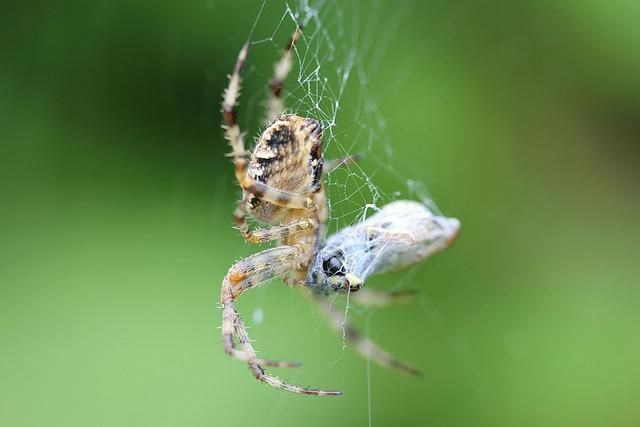 Spider, Cobweb, True Orb Weaver, Arachnid, Animals