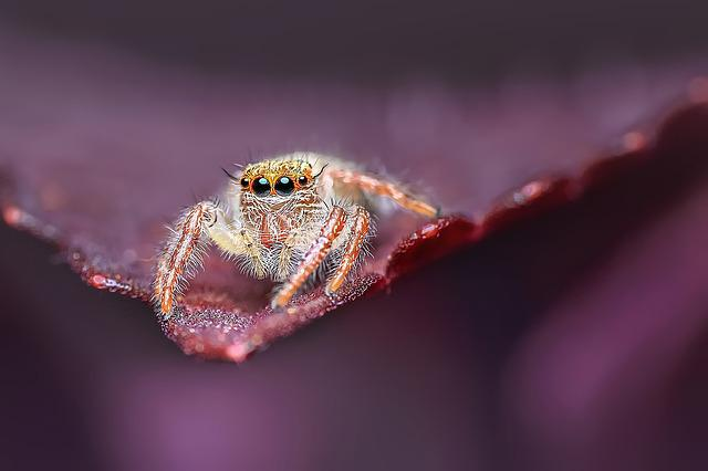 Jumping Spider, Insect, Macro, Animal, Wildlife, Spider