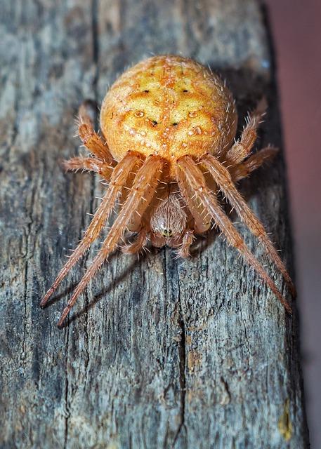 Spider, With, Araneidae, Arachnida, Arthropods, Spiders