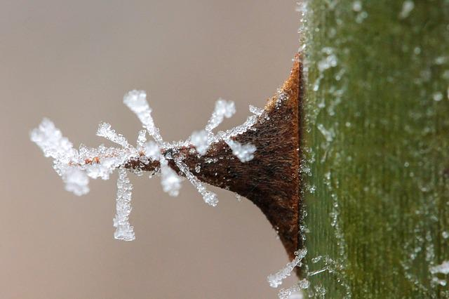 Rime, Thorn, Spike, Wild Rose Thorn, Winter, Frost