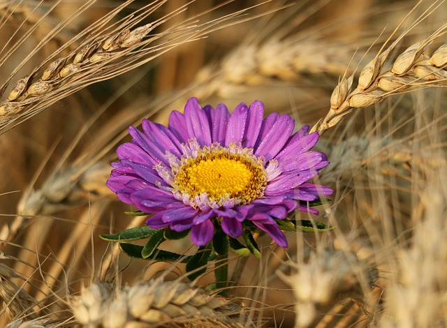 Rye, Spikes, Flower, Astra, Purple, Field, Harvest