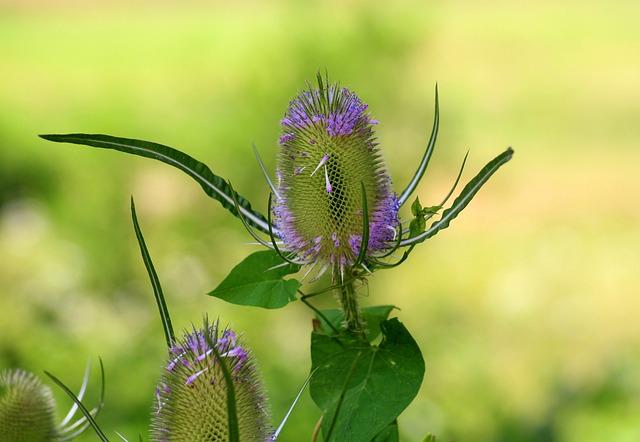 Szczeć, Dipsacus, Plant, Spikes, Summer, Flower