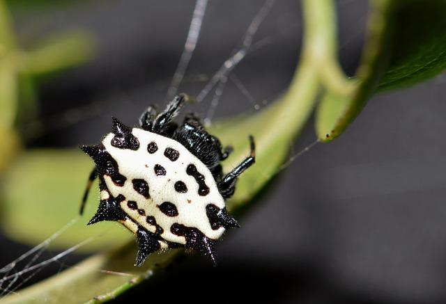 Spider, Orb Spider, Orb Weaver, Spiny Orb Weaver, Web