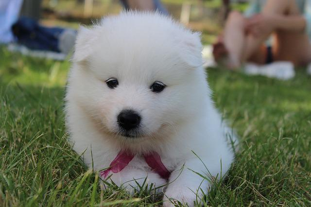 Dog, Puppy, Samoyed, Spitz, White, Ball, Teddy Bear