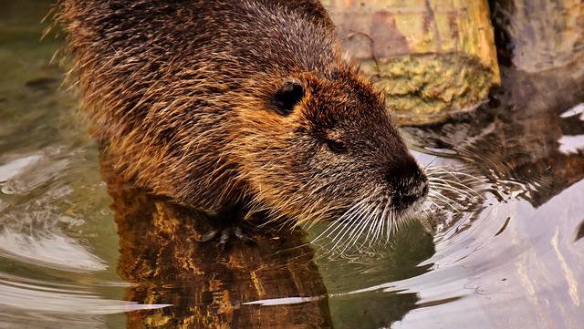 Nutria, Water Rat, Water, Splashing, Animal World