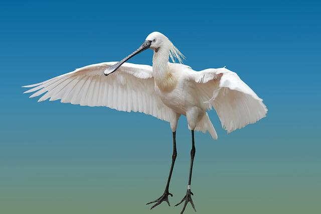 Animal, Bird, Heron, Spoon Heron, Wing, Isolated