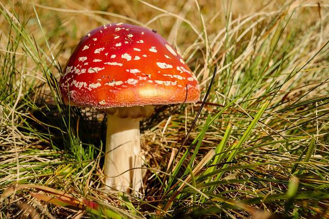 Fly Agaric, Mushroom, Red, Toxic, Spotted, Poison
