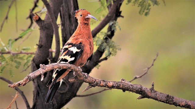 Orange, Bird, African Hoopoe, Bird Watching, Spotting