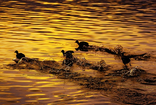 Bird, River, Flight, Coot, Japan, Sunset, Spray, Autumn