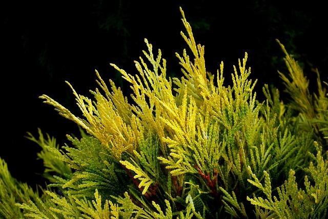 Thuja, Bush, Golden, Nature, Sprig, Closeup