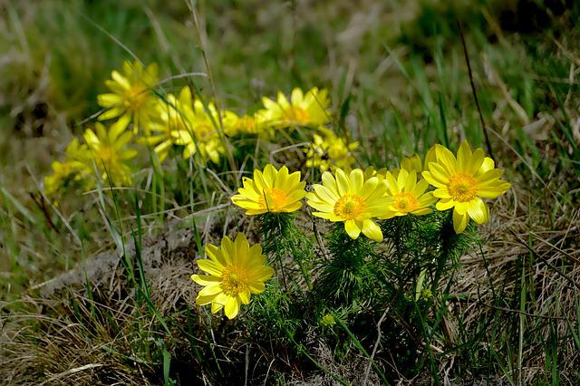Nature, Flower, Spring Adonis, Plant, Grass, Meadow