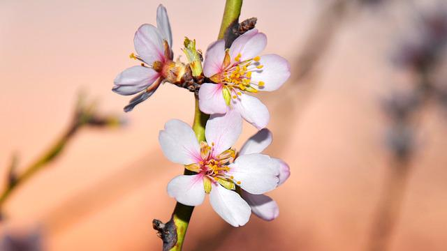 Spring, Almond Blossom, Macro