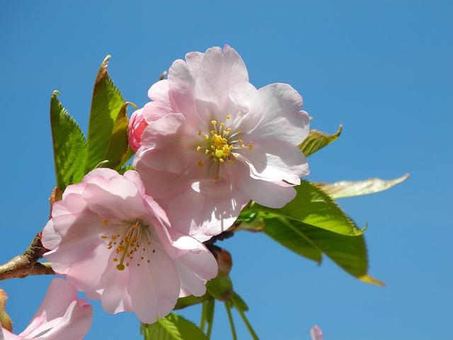 Spring, Mandelbaeumchen, Almond Blossom