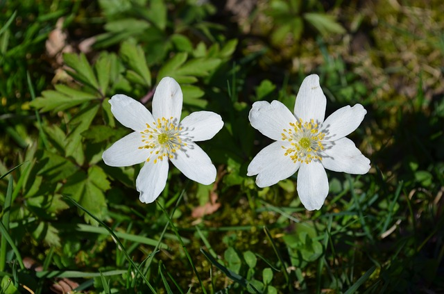 Wood Anemone, Anemones, Two Daffodils Around, Spring