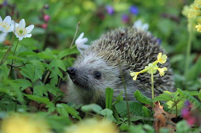 Hedgehog, Spring, Animal