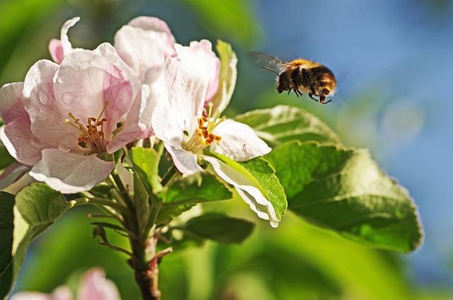 Bumblebee, Apple Blossom, Flight, Bug, Pollen, Spring