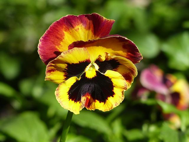Pansy, Bi Color, Spring Awakening