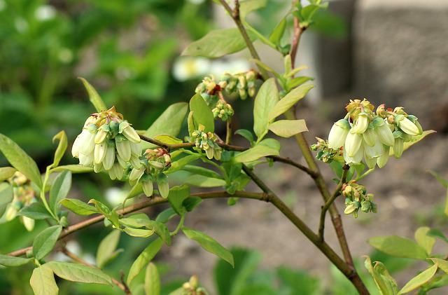 Bilberry American, Fruit Shrub, Flowering, Spring
