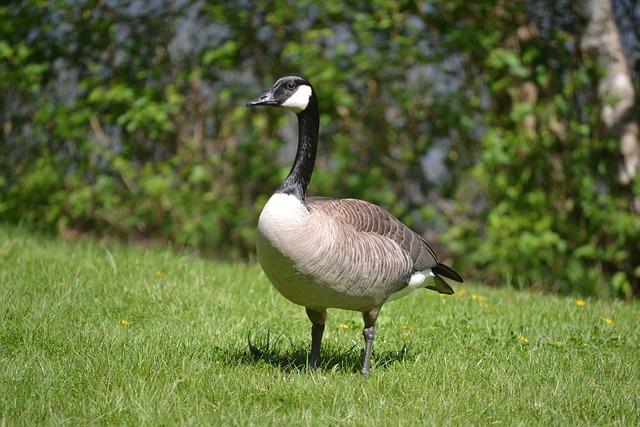 Goose, Bird, Canadian Goose, Spring